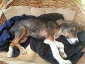Pas za operaciju- Malisa