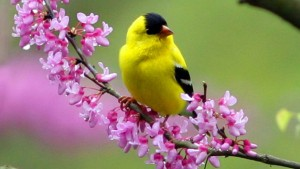 birds-spring-yellow-bird
